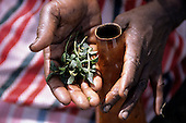 Lolgorian, Kenya. Siria Maasai medicinal plant used for disinfecting and cleaning milk collecting gourds.