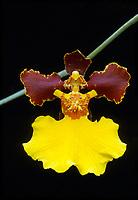 Gomesia Golden Swarm aka Oncidium Golden Swarm (Gomesia Nonamyre x Gomesia Enderianum, 1994 orchid hybrid)
