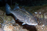 Striped bass juvenile 45 degrees to camera facing right