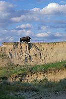 Lone bull bison, prairie badlands area, South Dakota, Summer.