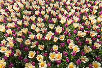 Hollande, région des champs de fleurs, Lisse, Keukenhof, tapis de fleurs avec les tulipes triumph 'Passionale' et tulipe kaufmanniana 'Glück' // Mix of tulips triumph 'Passionale' and tulips kaufmanniana 'Glück'