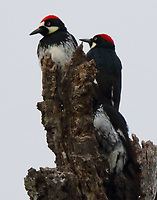 Acorn woodpecker group