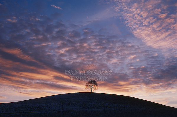 Linden tree (Tilia sp.),bare tree in winter at sunset, Switzerland