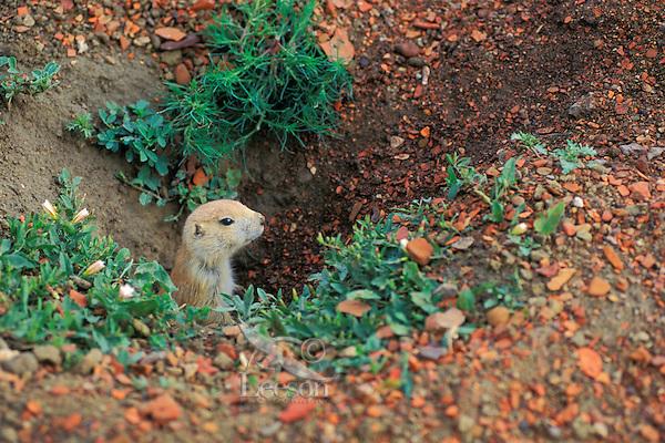 Black-tailed Prairie Dog (Cynomys ludovicianus) peers from burrow.