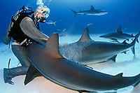 scuba diver in steel chain mail mesh suit and Caribbean reef sharks, Carcharhinus perezii, Bahamas, Caribbean, Atlantic