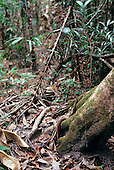 Maraca, Roraima State, Brazil. Anaconda snake camouflaged at the foot of a rainforest tree.
