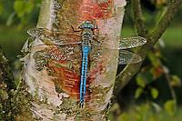 Große Königslibelle, Grosse Königs-Libelle, Männchen, Anax imperator, Emperor Dragonfly, male, L´Anax empereur