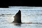 Alaska, Grizzly Bear