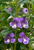 FP16-502z   Sour Grapes Flowers, Beard's Tongue, Penstemon x campanulatus