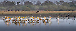 Central Africa, pink-backed pelican (Pelecanus rufescens), black crowned crane (Balearica pavonina), black-headed heron (Ardea melanocephala),