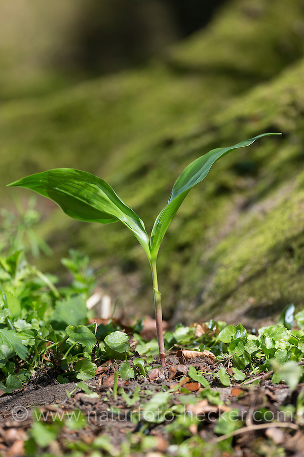 Gewöhnliches Maiglöckchen, frische Blätter vor der Blüte, Mai-Glöckchen, Convallaria majalis, Life-of-the-Valley, Muguet