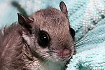 10-12 week old southern flying squirrel wrapped in blanket at the New England Wildlife Center in Barnstabe, Massachusetts. close-up.
