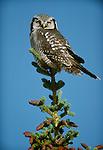 Hawk owl, Alaska