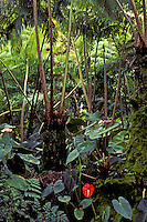 Lush ferns, athuriums and other plants abound in a tropical rainforest on the island of Maui.