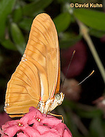 0402-08tt  Julia Longwing Butterfly, Dryas julia, South and Central America © David Kuhn/Dwight Kuhn Photography