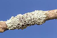 Starry Rosette Lichen (Physcia stellaris)