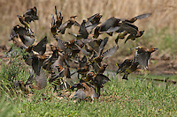 This Cedar Waxwing flock or 'cluster' seems leaderless. But this haphazard flight take-off pattern starts when one of the birds sounds the alarm.<br /> It can be just about anything from my observations(that sets them off), and this flight pattern very much resembles a computer model of chaos..