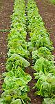 Monticello. Thomas Jefferson estate garden. Lettuce 'Spotted Alleppo'