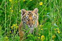 Bengal Tiger (Panthera tigris) cub, Endangered Species