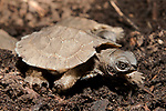 Wood turtle hatching walking to swamp after emerging from nest in late spring.