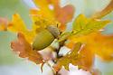 English Oak {Quercus robur} acorn. Cambridgeshire, UK. September.