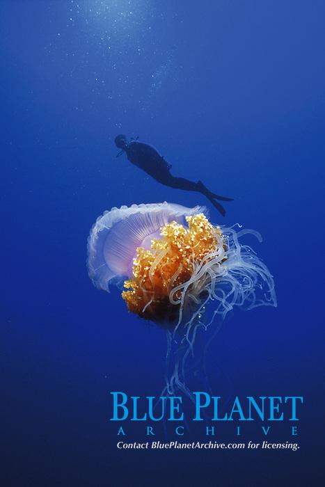 Pelagic jellyfish with scuba diver