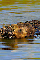"Sea Otter (Enhydra lutris) mother and pup sleeping.  Young pups have light brown or yellowish fur called the ""natal pelage.""  This fluffy fur helps the pup stay afloat before it learns the intricacies of swimming, and it will be completely replaced with dark brown adult fur by the time the pup is about three months old."