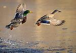 Male and female mallard ducks in flight from water.