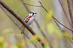 Male chestnut-sided warbler in northern Wisconsin.