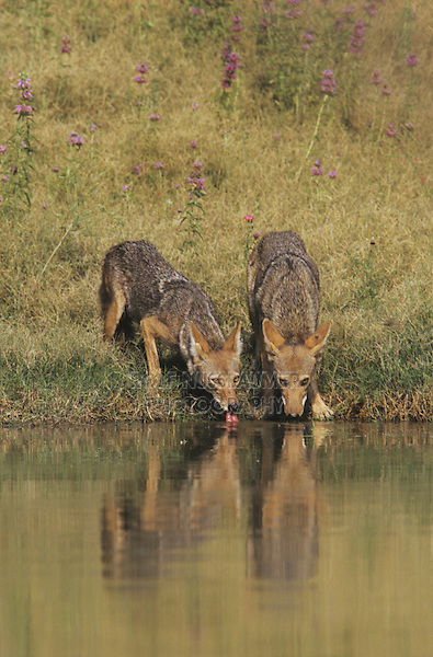 Coyote (Canis latrans), adults drinking from pond, Starr County, Rio Grande Valley, Texas, USA