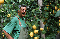 "Europe/Italie/Campanie/Env de la Côte Amalfitaine/Sant'Agata Sui Due Golfi : Alfonso Iaccarino chef du restaurant ""Don Alfonso 1890"" récolte ses citrons dans sa ferme Bio face à l'Ile de Capri [Non destiné à un usage publicitaire - Not intended for an advertising use]"