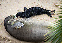 HONOLULU, HI - April 29, 2021: Endangered Species Hawaiian Monk Seal, Kaiwi with her 4 day old pup on the beach where she gave birth on April 26th at Kaimana Beach in Honolulu, HI on April 29, 2021. <br /> CAP/MPI/EKP<br /> ©EKP/MPI/Capital Pictures