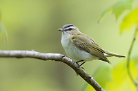 Red-eyed Vireo (Vireo olivaceus) foraging on it's breeding territory at Doodletown, Bear Mountain State Park, New York.