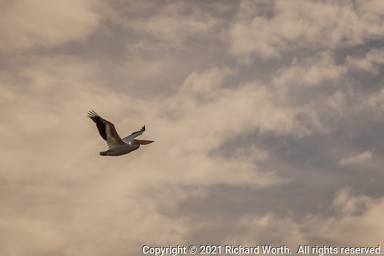 An American white pelican flies against a mostly cloudy sky on a winter afternoon.