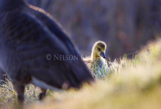 young canada goose gosling with parent goose feeding on grass along pond shore in montana