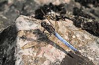 Kleiner Blaupfeil, Männchen, Orthetrum coerulescens, Keeled Skimmer, male, Orthétrum bleuissant