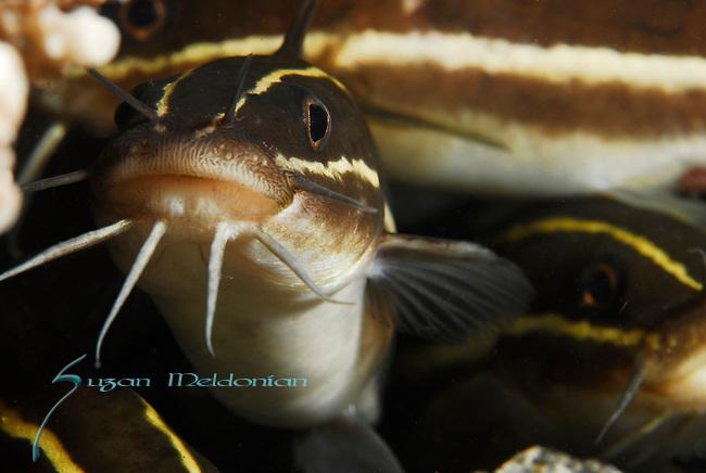 Striped Catfish, Lpotosus lineatus, Lembeh Straits, Sulawesi Sea, Indonesia, Amazing Underwater Photography