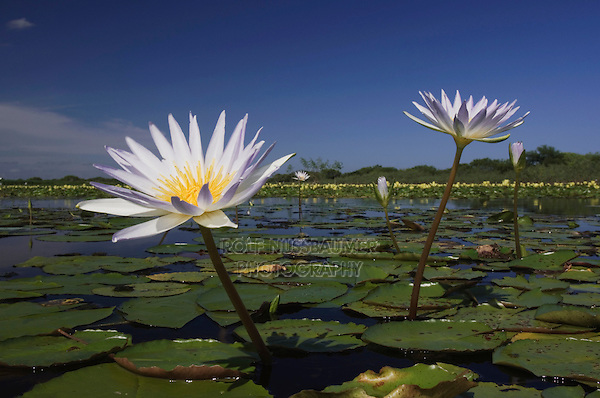 Lake with Tropical Royalblue Waterlily (Nymphaea elegans) and Yellow Waterlily (Nymphaea mexicana), Sinton, Coastel Bend, Texas, USA, March 2007
