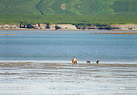 A sow and two cubs go clamming in the tidal lagoon at McNeil River State Game Sanctuary.