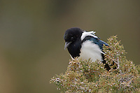 Black-billed Magpie, Pica hudsonia, adult, Yellowstone NP,Wyoming, September 2005