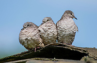 Three fledgling Inca Doves, Columbina inca, perch on a sculpture of a heron in the gardens of the Hotel Bougainvillea, Santo Domingo de Heredia, Costa Rica