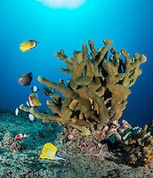 Various tropical fish swim around an antler coral off of the Waianae coast of O'ahu.