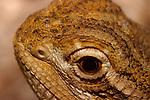 Ctenophorus Dragon
