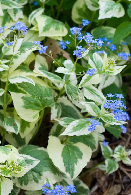 Brunnera Dawson's White in blue flowers