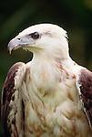 White-bellied sea eagle, Australia