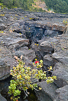 An 'ohi'a bush flaunting a red lehua blossom flourishes in a hole created by broken lava sheets in the floor of Kilauea Iki Crater (a 1959 lava lake) in Hawai'i Volcanoes National Park, Big Island.