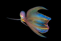 blanket octopus, Tremoctopus species, female, showing its web, photographed during blackwater dive off Anilao, Philippines, Pacific Ocean