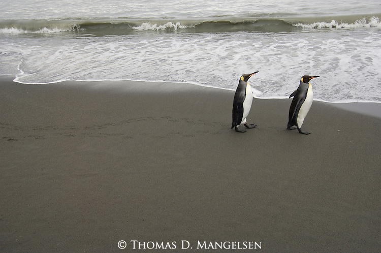 Two king penguins walk on the beach at St. Andrews Bay in South Georgia, South Atlantic Ocean.