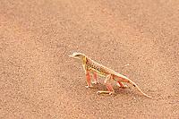 Shovel-nosed Lizard at Deadvlei, Namibia