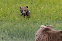 This spring cub and its sibling never strayed too far from mother bear. Brown Bear (Ursus arctos) cubs in this area have only a 40% survival rate in their first two years. Lake Clark National Park, Alaska.